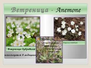Ветреница - Anemone Ветреница дубравная Ветреница алтайская  используется в