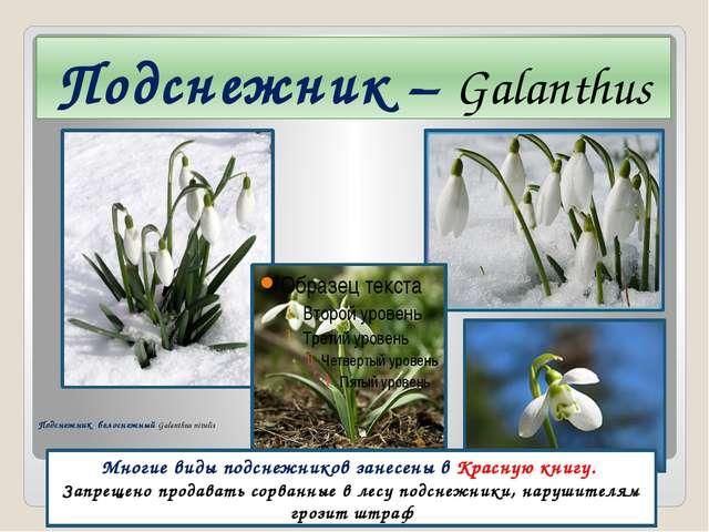 Подснежник – Galanthus Многие виды подснежников занесены в Красную книгу. Зап...