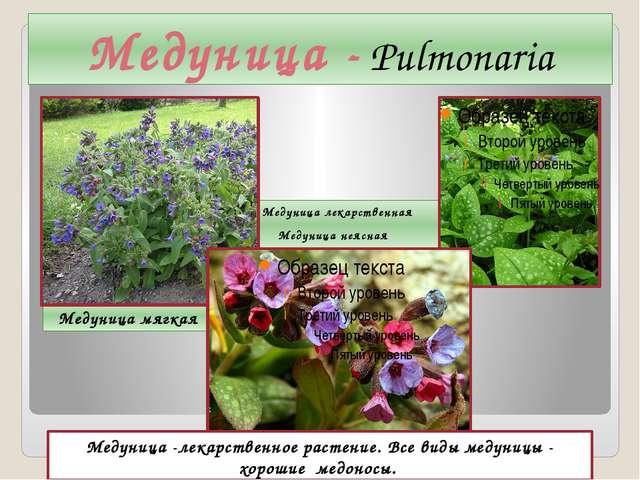 Медуница - Pulmonaria Медуница мягкая Медуница лекарственная Медуница неясная...
