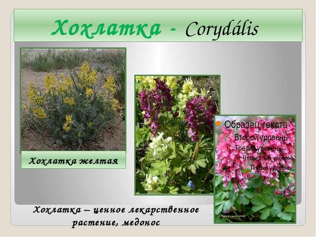 Хохлатка - Corydális Хохлатка желтая Хохлатка – ценное лекарственное растение...