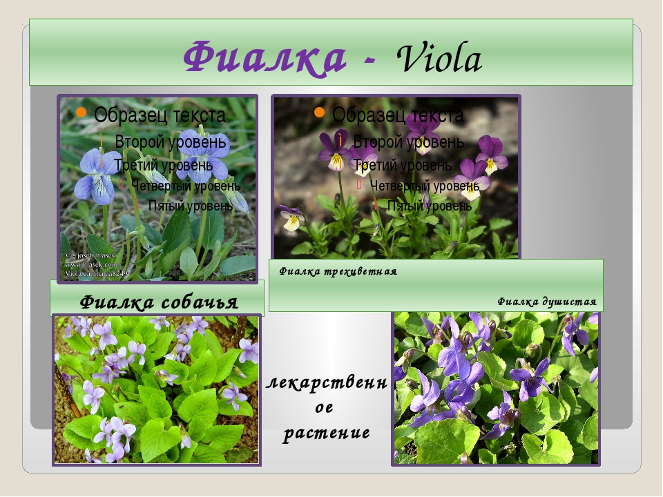 Фиалка - Viola Фиалка собачья Фиалка трехцветная Фиалка душистая лекарственно...