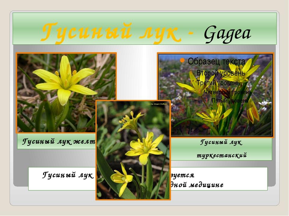 Гусиный лук - Gagea Гусиный лук желтый Гусиный лук туркестанский Гусиный лук...