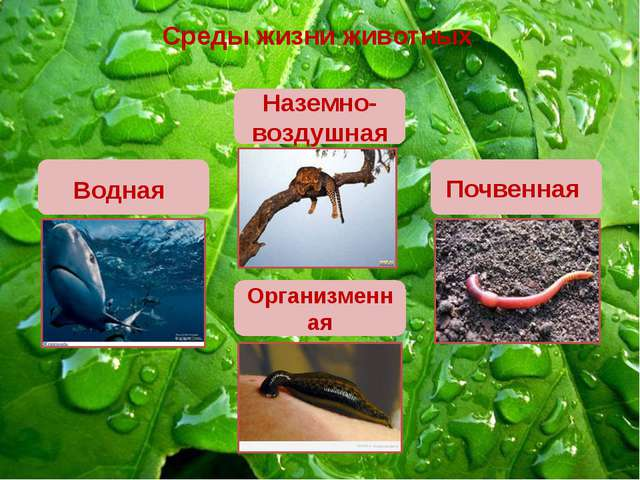 Среды жизни животных Наземно-воздушная Почвенная Организменная Водная