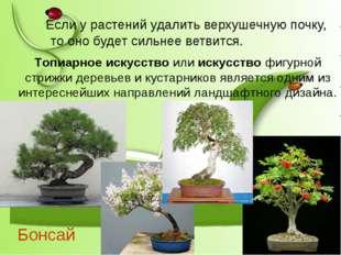Бонсай Если у растений удалить верхушечную почку, то оно будет сильнее ветвит