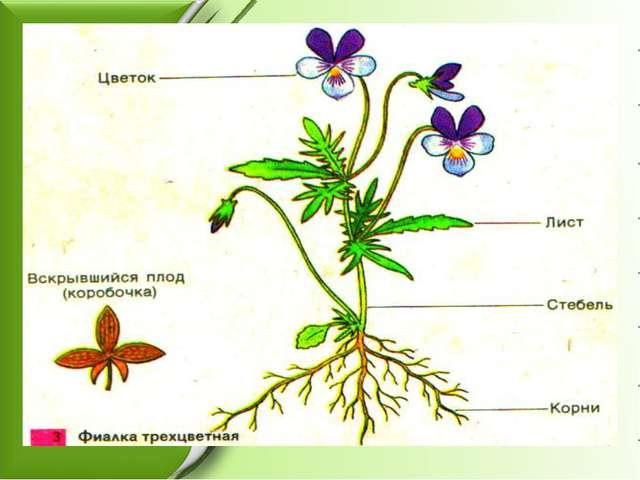 Строение цветкового растения (органы)