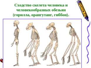 Сходство скелета человека и человекообразных обезьян (горилла, орангутанг, ги
