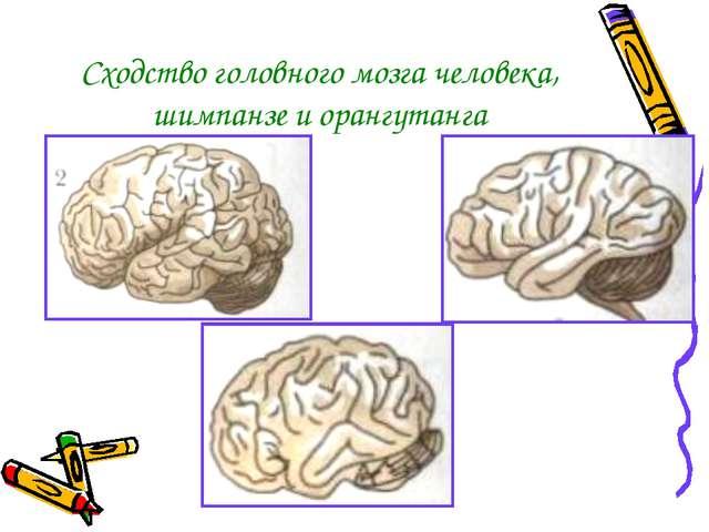 Сходство головного мозга человека, шимпанзе и орангутанга