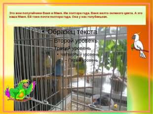 Это мои попугайчики Ваня и Маня. Им полтора года. Ваня желто-зеленого цвета.