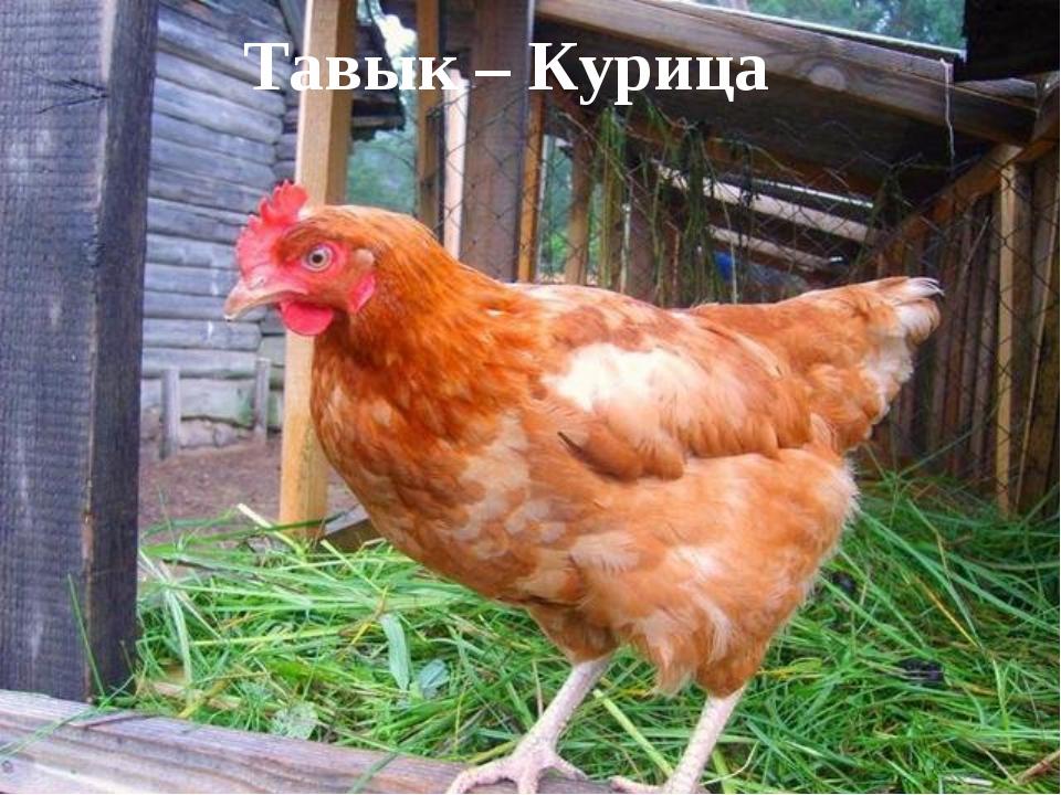 Тавык – Курица