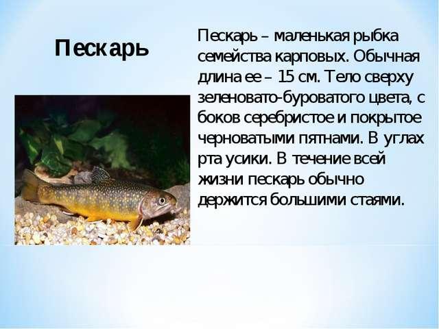 Пескарь – маленькая рыбка семейства карповых. Обычная длина ее – 15 см. Тело...