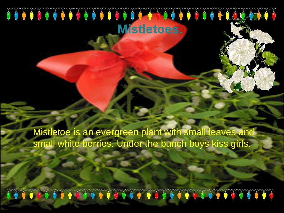 Mistletoes. Mistletoe is an evergreen plant with small leaves and small white...