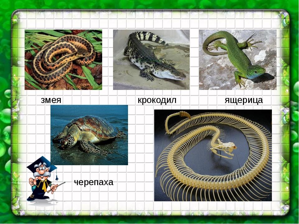 змея крокодил ящерица черепаха