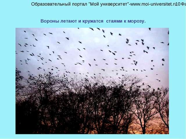 """Вороны летают и кружатся стаями к морозу. Образовательный портал """"Мой универс..."""