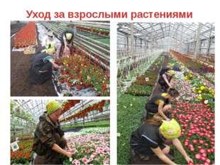 Уход за взрослыми растениями