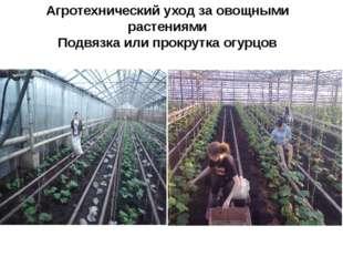 Агротехнический уход за овощными растениями Подвязка или прокрутка огурцов