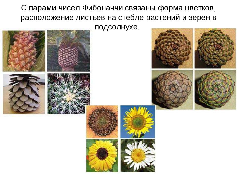 С парами чисел Фибоначчи связаны форма цветков, расположение листьев на стебл...