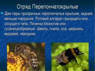Отряд Перепончатокрылые Две пары прозрачных перепончатых крыльев, задние мень