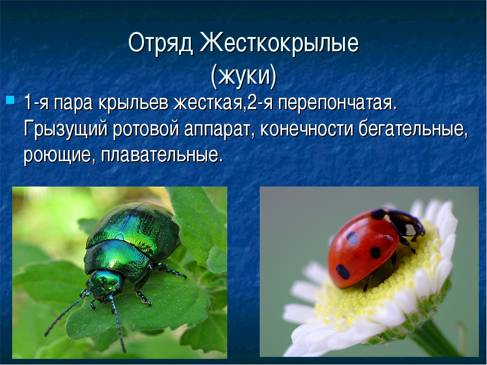 Отряд Жесткокрылые (жуки) 1-я пара крыльев жесткая,2-я перепончатая. Грызущий...