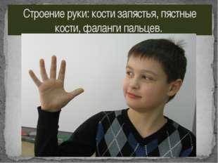 Строение руки: кости запястья, пястные кости, фаланги пальцев.
