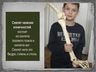 Скелет нижних конечностей состоит из скелета тазового пояса и скелета ног. Ск