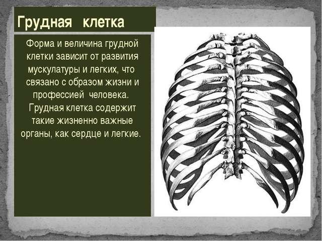 Форма и величина грудной клетки зависит от развития мускулатуры и легких, что...