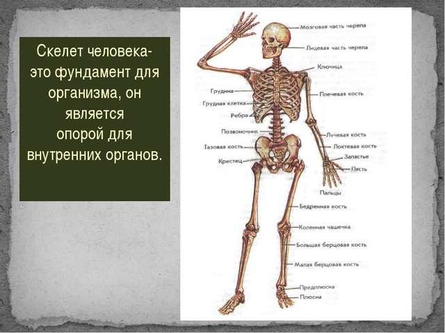 Скелет человека- это фундамент для организма, он является опорой для внутренн...