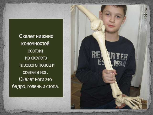 Скелет нижних конечностей состоит из скелета тазового пояса и скелета ног. Ск...
