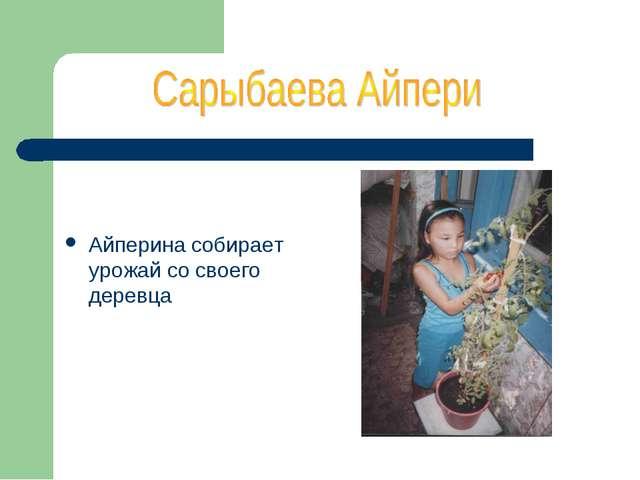 Айперина собирает урожай со своего деревца