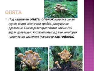 Под названием опята, опенок известна целая группа видов шляпочных грибов, рас