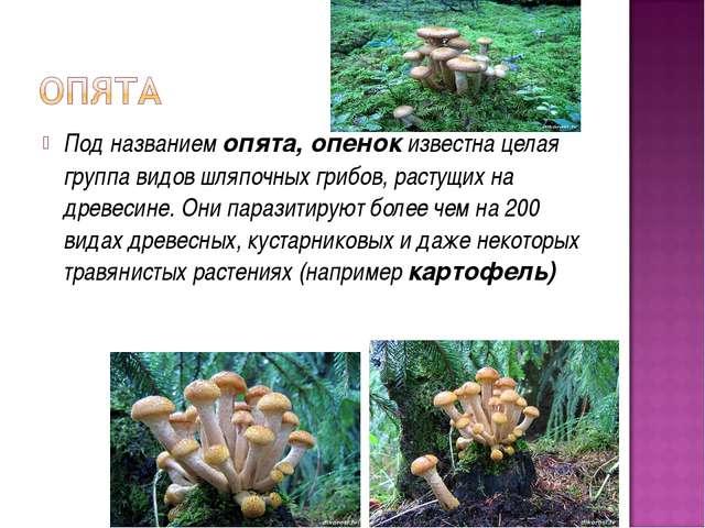 Под названием опята, опенок известна целая группа видов шляпочных грибов, рас...