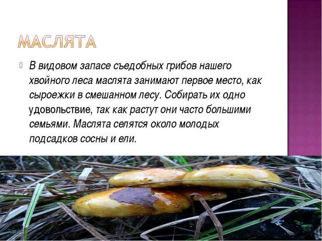 В видовом запасе съедобных грибов нашего хвойного леса маслята занимают перво...