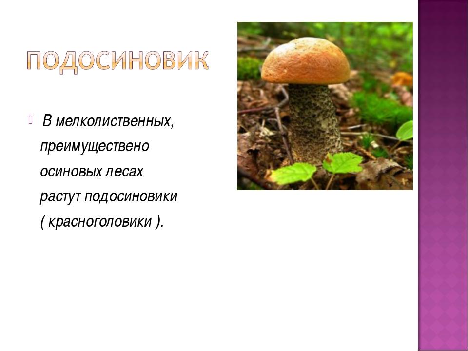 В мелколиственных, преимуществено осиновых лесах растут подосиновики ( красн...
