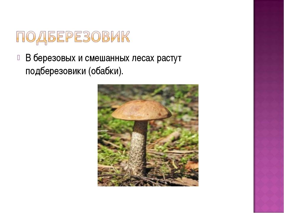 В березовых и смешанных лесах растут подберезовики (обабки).