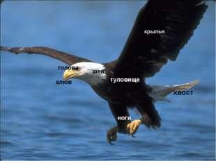 клюв голова шея туловище крылья ноги хвост