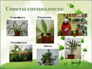 Хлорофитум Папоротник Спатифиллум Циссус Драцена