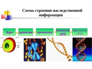 Схема строения наследственной информации Ядро хроматин хромосома молекула ДН