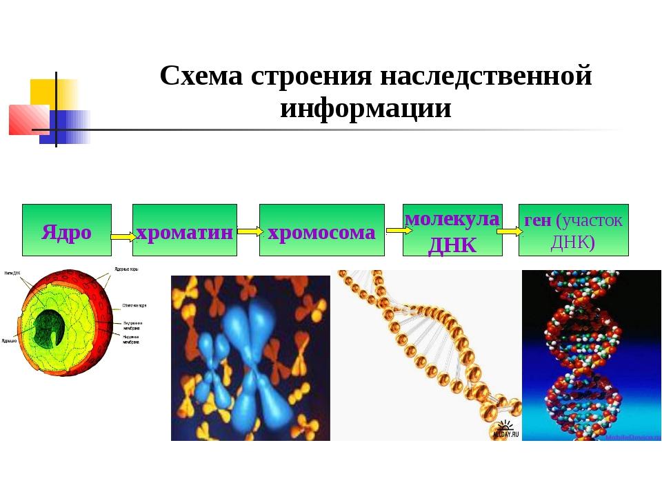 Схема строения наследственной информации Ядро хроматин хромосома молекула ДН...