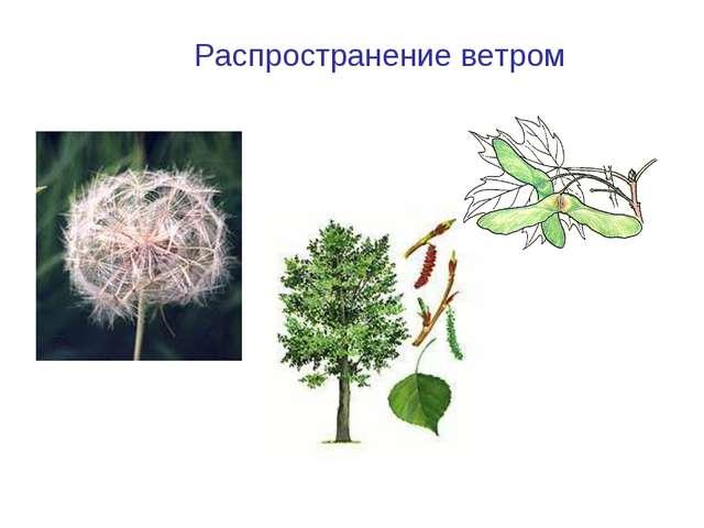 Клен Одуванчик Распространение ветром Тополь