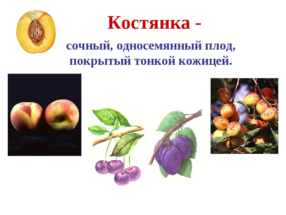 Костянка - сочный, односемянный плод, покрытый тонкой кожицей. Абрикос Персик...