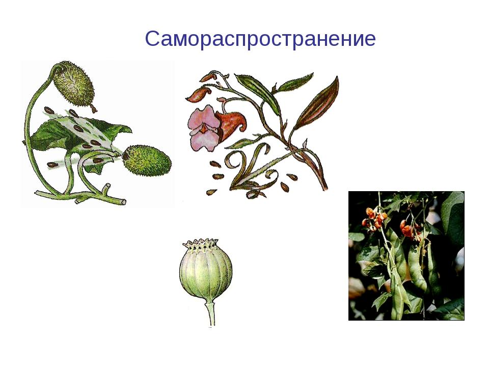 Бешеный огурец Самораспространение Фасоль Мак Недотрога