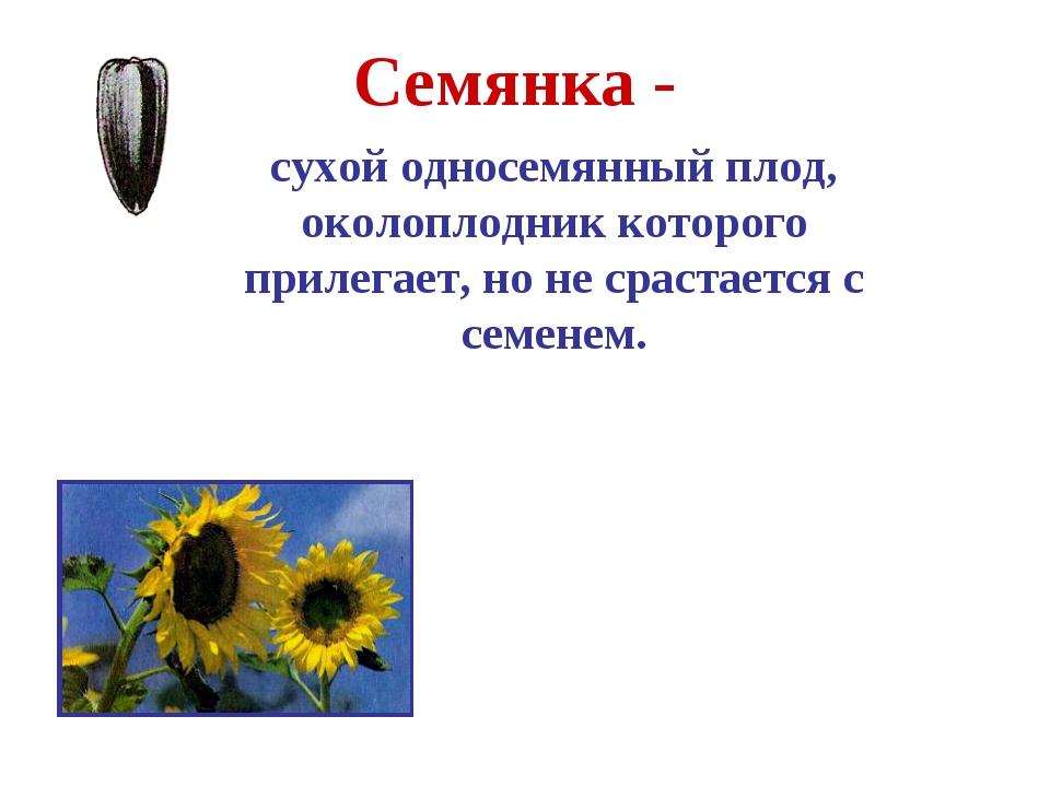 Семянка - сухой односемянный плод, околоплодник которого прилегает, но не сра...