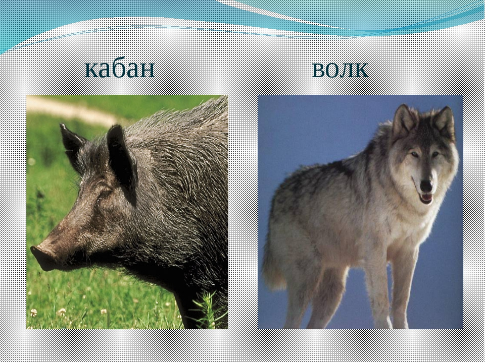 кабан волк