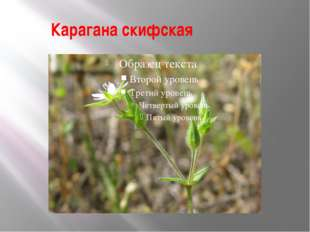 Карагана скифская