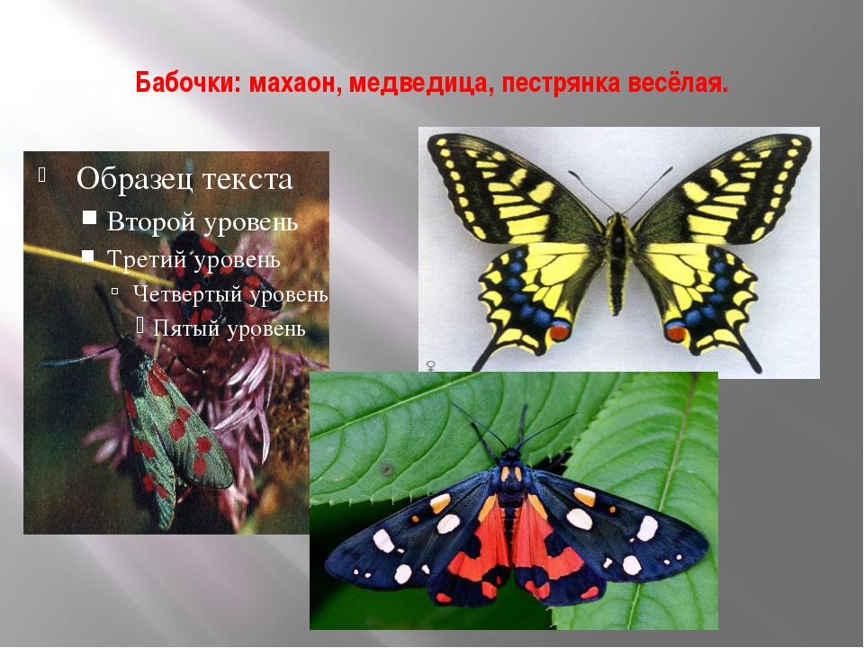 Бабочки: махаон, медведица, пестрянка весёлая.