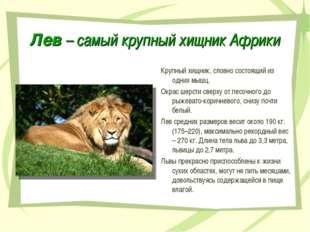 Лев – самый крупный хищник Африки Крупный хищник, словно состоящий из одних м
