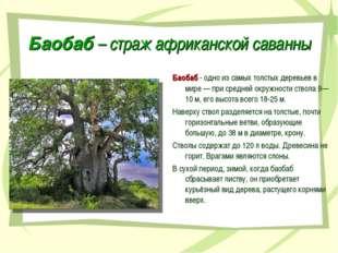 Баобаб – страж африканской саванны Баобаб - одно из самых толстых деревьев в
