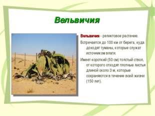 Вельвичия Вельвичия - реликтовое растение. Встречается до 100 км от берега, к