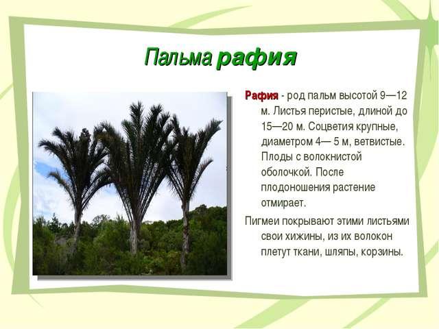 Пальма рафия Рафия - род пальм высотой 9—12 м. Листья перистые, длиной до 15—...