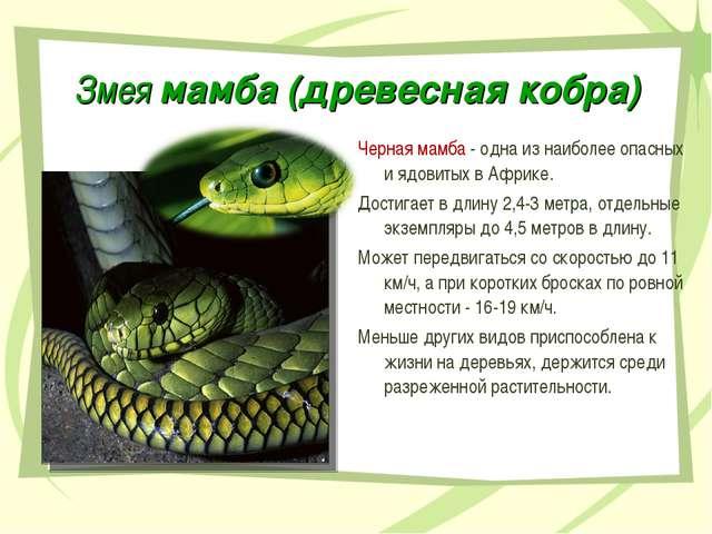 Змея мамба (древесная кобра) Черная мамба - одна из наиболее опасных и ядовит...