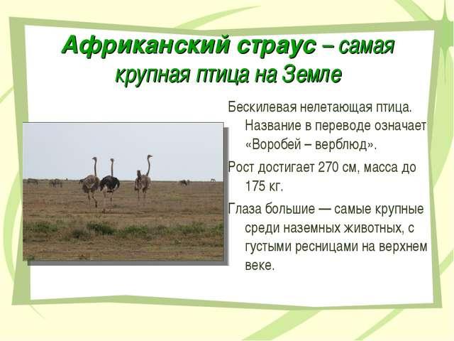 Африканский страус – самая крупная птица на Земле Бескилевая нелетающая птица...
